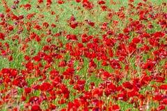 O campo da papoila de milho vermelha brilhante floresce no verão Fotos de Stock