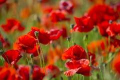 O campo da papoila de milho vermelha brilhante floresce no verão Fotos de Stock Royalty Free
