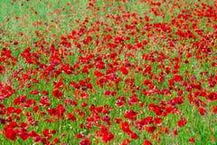 O campo da papoila de milho vermelha brilhante floresce no verão Foto de Stock Royalty Free