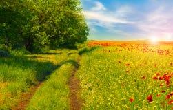 O campo da papoila vermelha brilhante floresce na mola Fotos de Stock