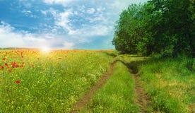 O campo da papoila vermelha brilhante floresce na mola Fotografia de Stock Royalty Free