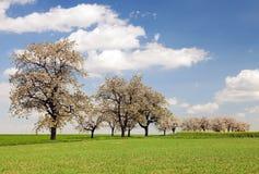 O campo de árvores de cereja da colza e da aleia, colza é a melhor planta para a energia e a indústria petroleira verdes fotografia de stock royalty free