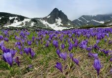 O campo de açafrões do tempo de mola e Haramiya repicam nas montanhas de Rila, Bulgária Foto de Stock