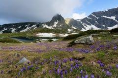O campo de açafrões do tempo de mola e Haramiya repicam nas montanhas de Rila, Bulgária Fotos de Stock
