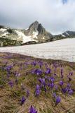 O campo de açafrões do tempo de mola e Haramiya repicam nas montanhas de Rila, Bulgária Imagens de Stock