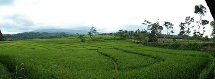 O campo de almofadas, arroz coloca, ajardina, esverdeia, Indonésia fotografia de stock
