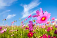 O campo de flor do cosmos imagens de stock