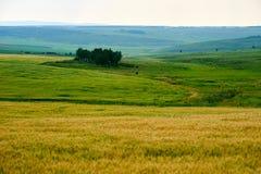 O campo de grão dourado maduro Foto de Stock