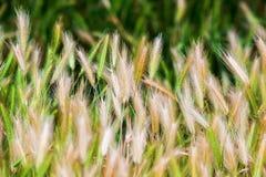 O campo de grama do trigo da natureza do verão ajardina rural Foto de Stock