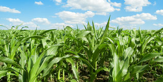 O campo de milho. Fotos de Stock Royalty Free