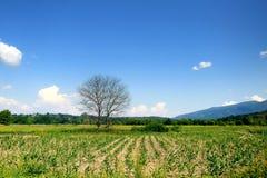O campo de milho Fotos de Stock Royalty Free