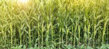 O campo de milho amadurece no sol imagem de stock