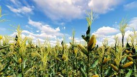 O campo de milho com céu azul 3D rende Fotos de Stock Royalty Free