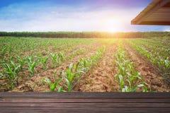 O campo de milho da manhã da área do cultivo que cresce brilhante, esvazia o espaço para o texto e pode usar-se para a exposição  imagem de stock