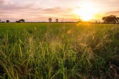 O campo de milho na luz Imagem de Stock
