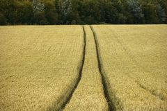 O campo de milho yelden condados Inglaterra da HOME do bedfordshire da vila Foto de Stock