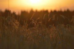 O campo de trigo da noite Imagens de Stock