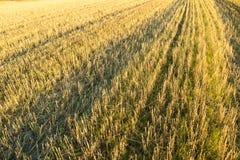 O campo de trigo em Noruega colheu Foto de Stock