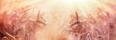 O campo de trigo, grão dourada do trigo iluminou-se por raios do sol Fotos de Stock