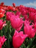 O campo de tulipas cor-de-rosa escuras Foto de Stock Royalty Free
