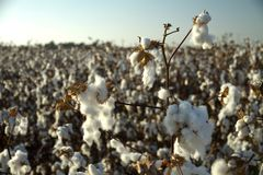O campo do algodão com algodão floresce pronto para colher foto de stock