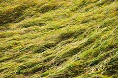 O campo do arroz cai para baixo Imagens de Stock