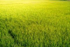 O campo do arroz olha como a grama verde everywhere imagens de stock royalty free