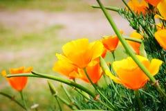O campo do californica de Eschscholzia da papoila de Califórnia está florescendo, flores alaranjadas bonitas Fotografia de Stock Royalty Free