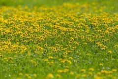 O campo do dente-de-leão de florescência amarelo floresce o officinale do taraxacum Foto de Stock