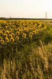 O campo do girassol está florescendo no por do sol Imagem de Stock
