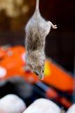 O campo do rato pendurou de cabeça para baixo Foto de Stock Royalty Free