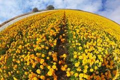 O campo dos kibutz de botões de ouro multi-coloridos Imagem de Stock