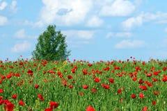 O campo e a árvore vermelhos de flor das papoilas ajardinam a mola Fotografia de Stock Royalty Free