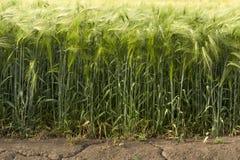O campo em que a cevada cresce é a seca do verão com sinais visíveis na terra Fotografia de Stock Royalty Free