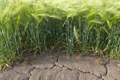 O campo em que a cevada cresce é a seca do verão com sinais visíveis na terra Imagem de Stock Royalty Free