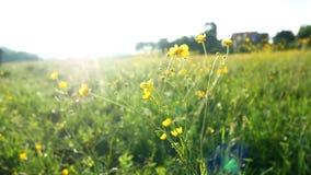 O campo floresce a planta do por do sol vídeos de arquivo