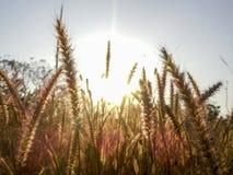 O campo planta lite com luz do por do sol da noite Fotografia de Stock Royalty Free