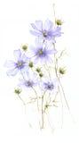 O campo selvagem azul floresce a aquarela no fundo branco Imagem de Stock Royalty Free