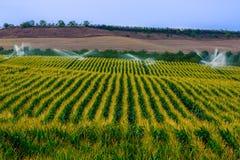 O campo verde com a colheita crescente do milho sprinckled pela utilização da água imagem de stock