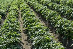 O campo verde da batata colhe em seguido Imagens de Stock