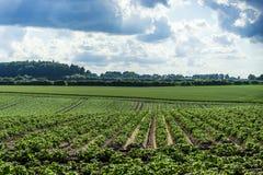 O campo verde da batata colhe em seguido Foto de Stock