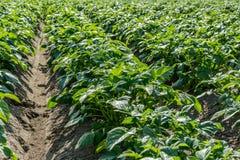 O campo verde de Potatoe colhe em seguido Fotografia de Stock