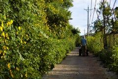 O campo vietnamiano com flor selvagem do girassol no amarelo ao longo da rua, Dalat é cidade para o curso, com paisagem da beleza imagens de stock