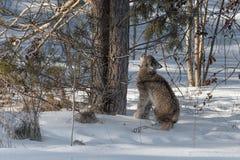 O canadensis canadense do lince do lince olha acima troncos de árvore Imagem de Stock Royalty Free