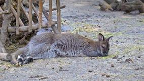 O canguru está dormindo imagem de stock