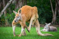 O canguru vermelho do parque dos animais selvagens de Philip Island, Austrália foto de stock