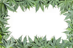 O cannabis verde folheia quadro foto de stock