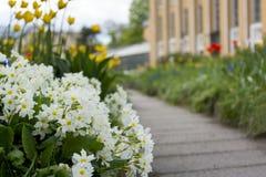 O canteiro de flores com mola floresce, prímulas, prímula, trajeto Foto de Stock