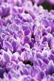 O canteiro de flores com primeira mola floresce - a OU roxa da flor dos açafrões Fotografia de Stock Royalty Free