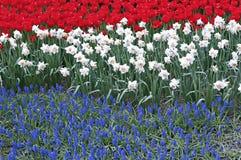 O canteiro de flores com três coloriu tulipas vermelhas das flores, narciso branco Imagens de Stock Royalty Free